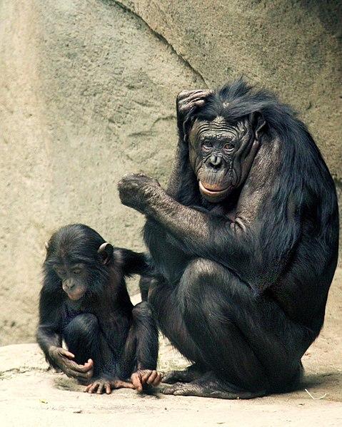 479px-Bonobos_Lana_&_Kesi_2006_CALVIN_IMG_1301
